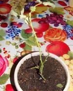 Заболевания розы стеблевым раком