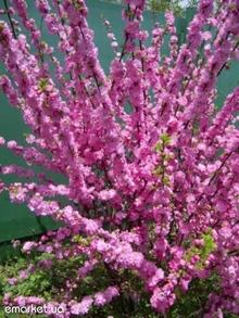 http://lepestok.kharkov.ua/garden/img/s2012010505.jpg