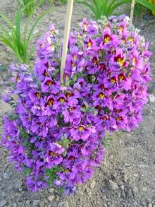 http://lepestok.kharkov.ua/garden/img/s2012010603.jpg