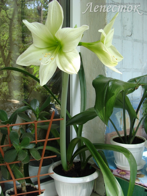 Гиппеаструмы - всё о выращивании!